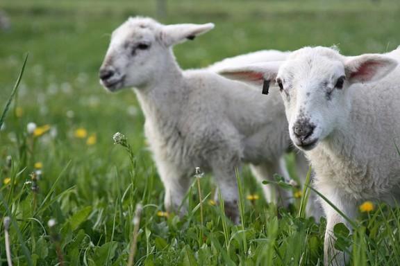Σύνδεσμος Ελληνικής Κτηνοτροφίας: Άμεσα μέτρα  αποτροπής της καταστροφής της αιγοπροβατοτροφίας
