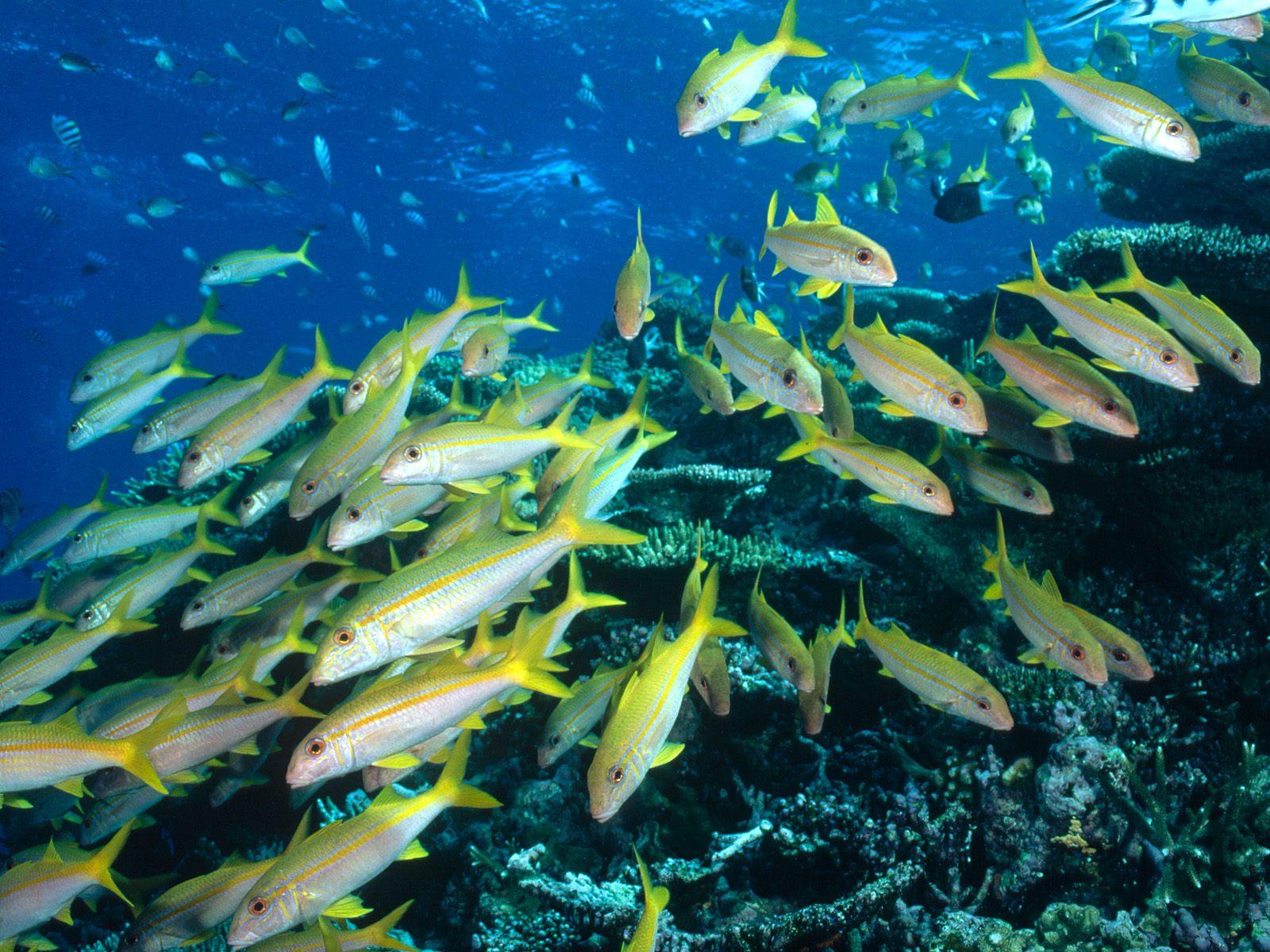 Yellow Goatfish Great Barrier Reef Australia