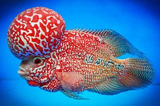 Tips Mudah Merawat Ikan Hias Louhan Agar Cepat Jenong
