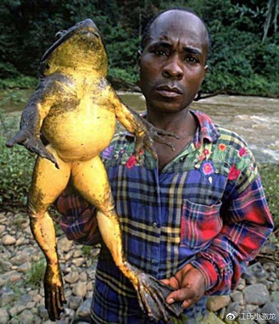 Loài ếch Beelzebufo kỳ lạ có thể nuốt trọn khủng long khổng lồ tới mức nào?
