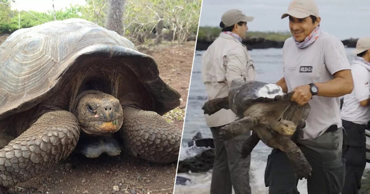 Giant Tortoise Breeding Program Proves A Success With 2,000 New Members Saving The Species From Extinction