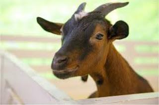 सपने में बकरे का मांस देखना ▷ meat goat