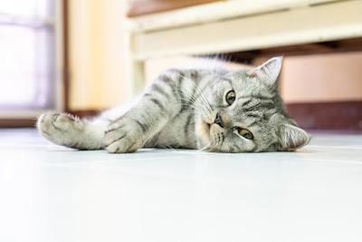 Kucing Berbulu Pendek