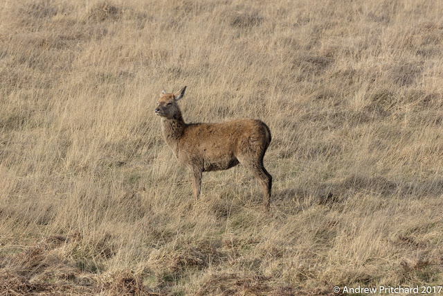 A yearling hind has a shaggier coat than her elders, as she stops on the hillside, squinting in the sun.