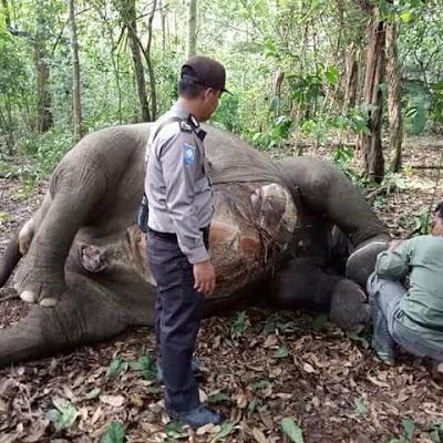 Seekor Gajah Taman Nasional Way Kambas Ditemukan Mati Dalam Keadaan Tanpa Gigi dan Gading