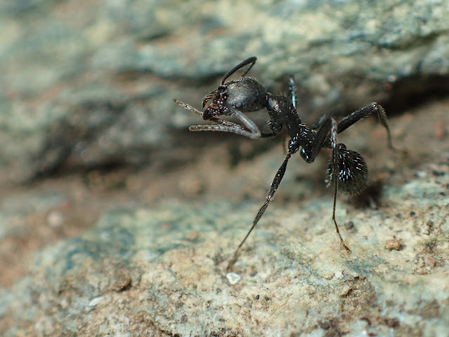 Aphaenogaster spinosa
