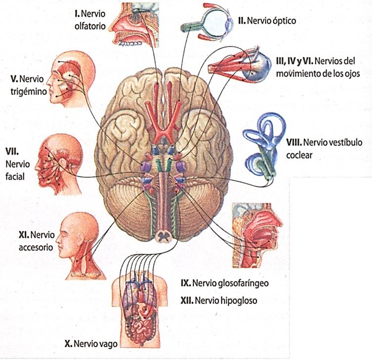 Los nervios craneales ¡Una forma fácil y rápida de aprenderlos ...