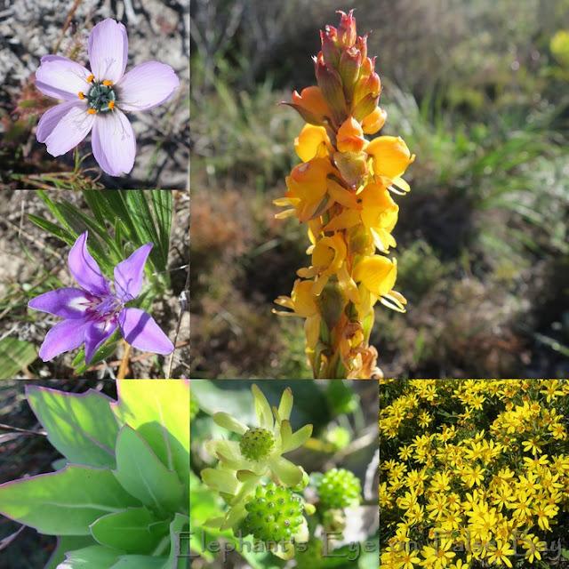 Brakkloofrant August flowers