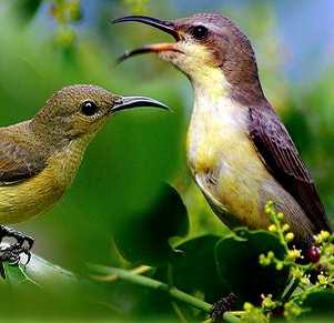 download mp3 suara burung kolibri ninja betina gacor untuk masteran burung kicau
