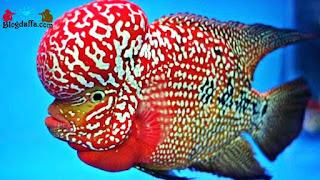 Ikan Louhan Dipercaya dapat Membawa Keberuntungan
