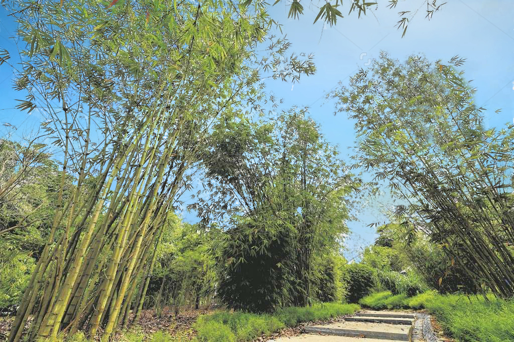 Bamboos in the Bambusetum during the media preview of the Learning Forest at the Singapore Botanic Gardens, on March 30, 2017