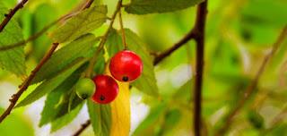 Daun kersen untuk diabetes mellitus dan insipidus daun memang tidak diragukan lagi Daun Kersen Untuk Diabetes Mellitus dan Insipidus