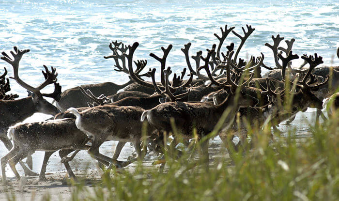 There are some 25,000 wild tundra reindeer in Norway, located in the southern mountain ranges, according to experts.