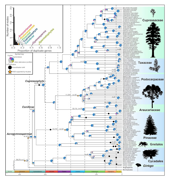DNA duplication linked to the origin and evolution of pine trees and their relatives