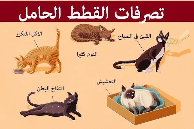 """""""تصرفات القطط الحامل"""" """"تصرف القطط اثناء الحمل"""" """"سلوك القطط الحامل"""" """"اعراض الحمل عند القطط"""" """"اعراض حمل القطط"""" """"متى يتحرك جنين القطط"""" """"سبب مواء القطط الحامل"""" """"مراحل حمل القطط بالصور"""" """"كيف اعرف قطتي حامل بأي شهر"""" """"حمل القطط لأول مرة"""" """"علامات ولادة القطط"""" """"استحمام القطط الحامل"""" """"كيف تمنع القطط من الحمل"""""""