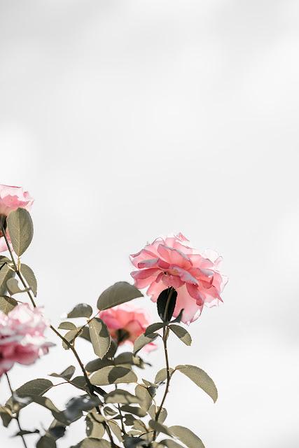 خلفيات ورود جميلة جدا صورة وردة جميلة 12