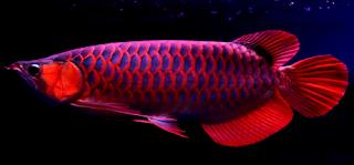 Cara merawat dan harga terbaru ikan arwana jenis super red