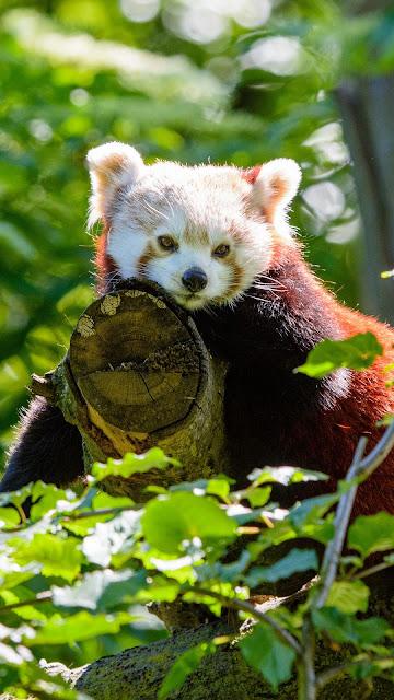 Papel de Parede Panda Pequeno Vermelho