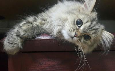 gambar kucing persia medium