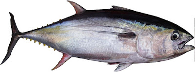 albacore-tuna-USA-canada-fish-with-omega-3-fatty-acids-list-picture