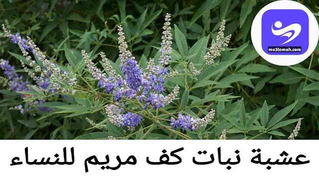 نبات كف مريم الاسطوري للنساء