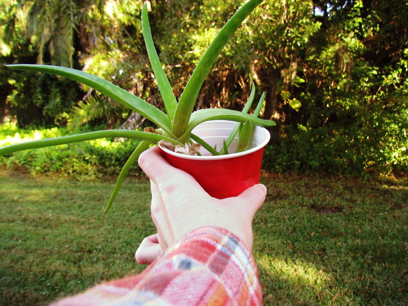 A woman holding a red cup with baby aloe vera plant and a red flannel shirt against forest green grass in the backyard of mother nature + healing remedies