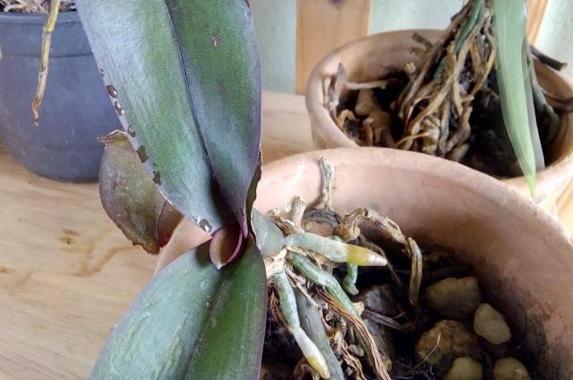 Orquídea em vaso de barro, com destaque para as raízes