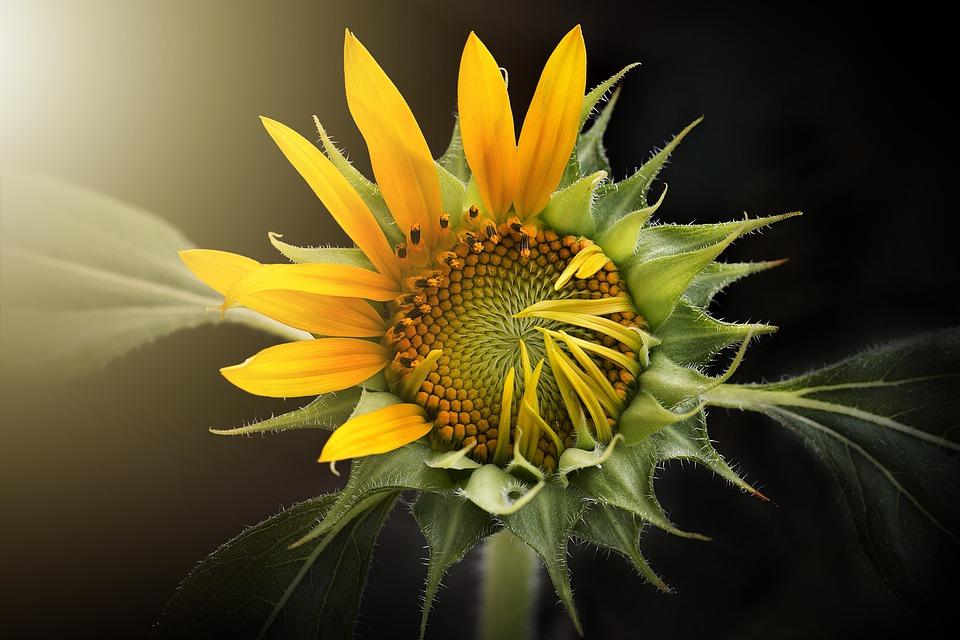 sunflower 3113318 960 720 1