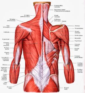 anatomie tronc