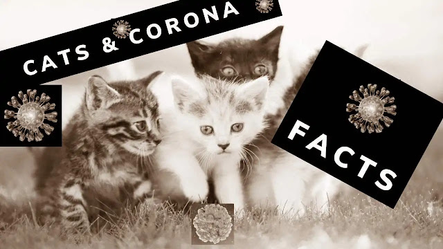 can a domestic cat get coronavirus can a house cat get covid can cats get coronavirus can domestic cat get covid 19 can cats get coronavirus and give to humans can cats get covid from humans can cats have covid to humans can house cats get coronavirus from humans how can cats get covid 19 can household cats get covid how can cats get covid can my cat get ill from coronavirus can cats go outside covid can cats get coronavirus and pass it on to humans can cats get covid-19 from their owners can pet cats get covid cats get covid virus
