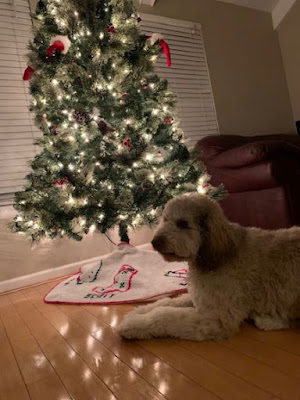 The LaBarre labradoodle, Moka, laying in front of a lit up, decorated Christmas tree