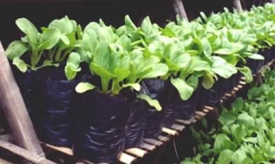 usaha budidaya sayuran menjanjikan untung besar