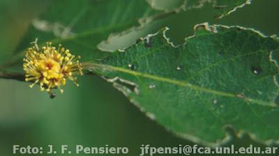 flore de espina colorada
