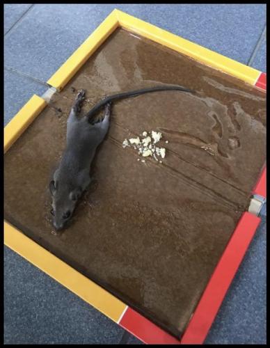 perangkap tikus terbaik