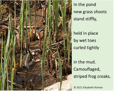 A frog with a green stripe on its back sits in a pond. Poem reads: In the pond new grass shoots stand stiffly  held in place by wet toes curled tightly  in the mud. Camouflaged, striped frog croaks. copyright 2021 Elisabeth Norton
