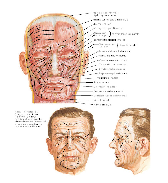 Muscles of Facial Expression: Anterior View Anatomy