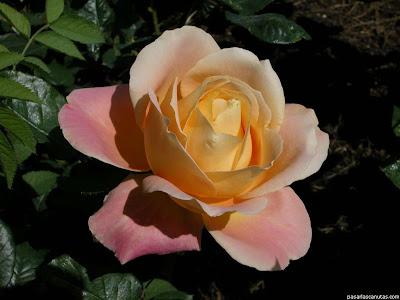 imagenes de rosas de colores amarilla y rosadas