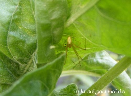 Noch eine lauernde Spinne unter einem Nachtkerzenblatt
