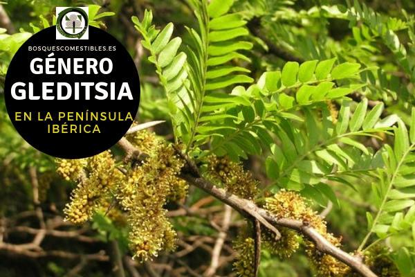 Lista de Especies del Género Gleditsia, Acacia, Familia Fabaceae en la Península Ibérica