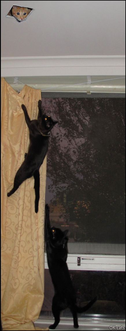 Photoshopped Cat picture • 2 brave black cats want to catch curious ceiling cat