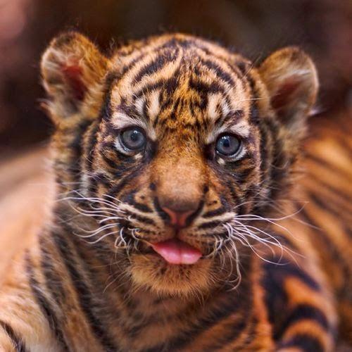 fotografias de cachorros de tigres
