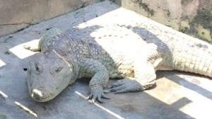 See 78-year-old Crocodile Worshipped As A god in Ibadan City [Photo]