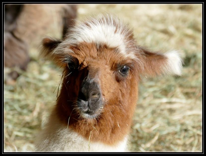 Llamas of Dakota Ridge Farm