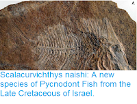 https://sciencythoughts.blogspot.com/2017/08/scalacurvichthys-naishi-new-species-of.html
