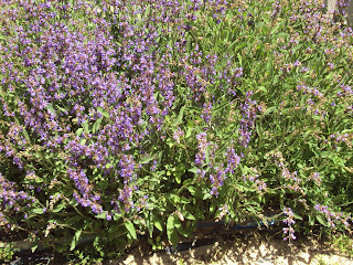 planta y flores de salvia