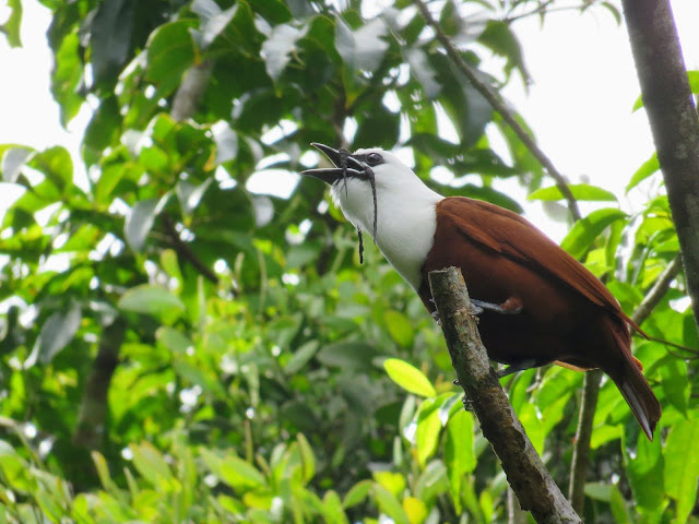Costa Rica Wildlife: three-wattled bellbird