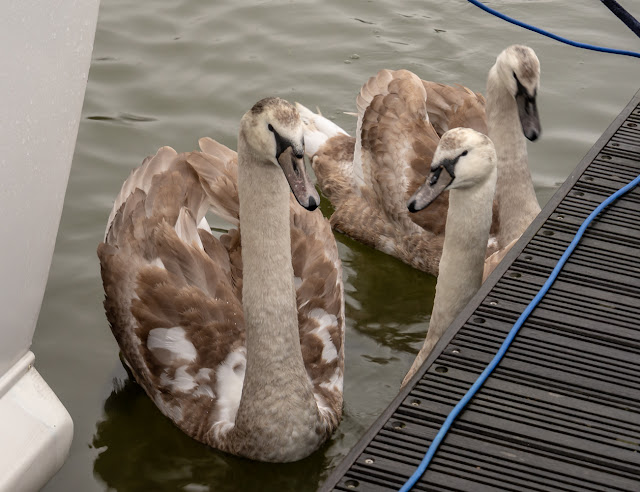 Photo of the cygnets looking for food near Ravensdale