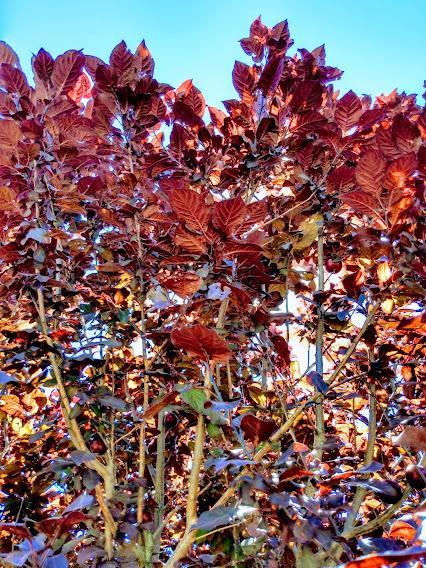 purple leaves on a black leaf plum tree
