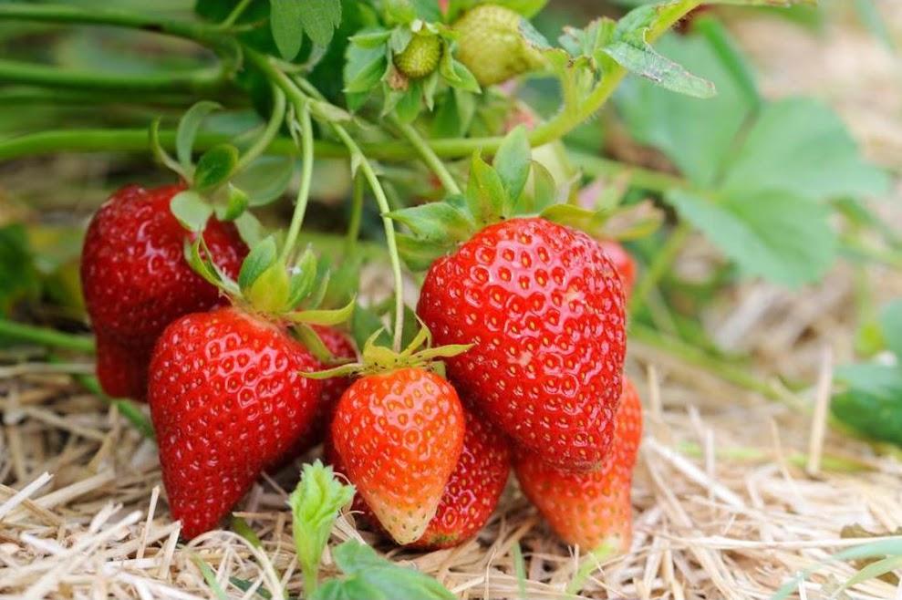 Bibit strawberry merlan termurah beli 15 gratis 1 ku Bukittinggi