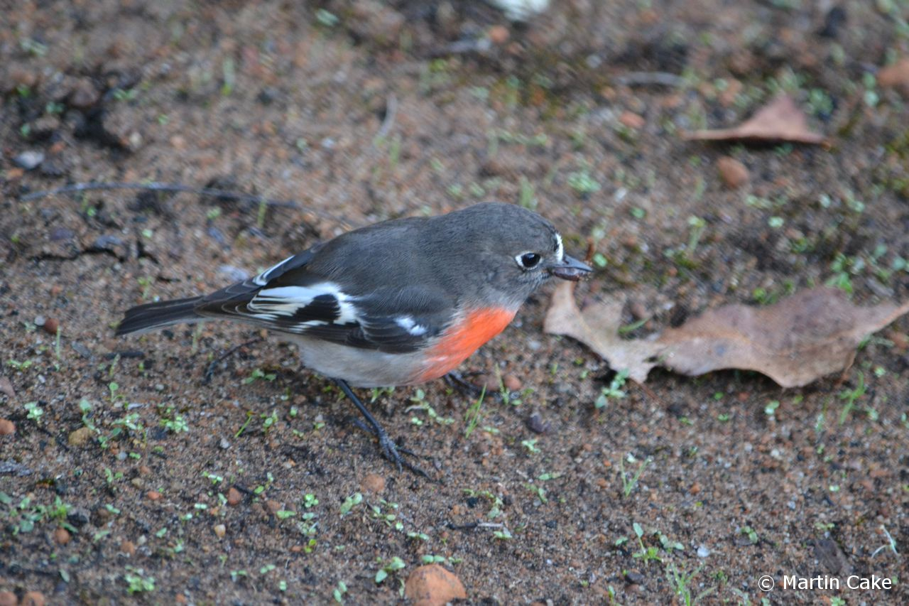 Leeuwin Current Birding Wa Endemic Subspecies